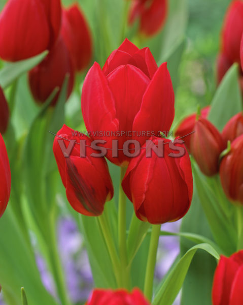 10a713f71 ... Тюльпан многоцветковый Рулет ...